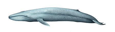 Blue Whale (Pygmy Blue) Original Artwork