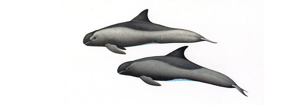 Pygmy killer whales (male and female)
