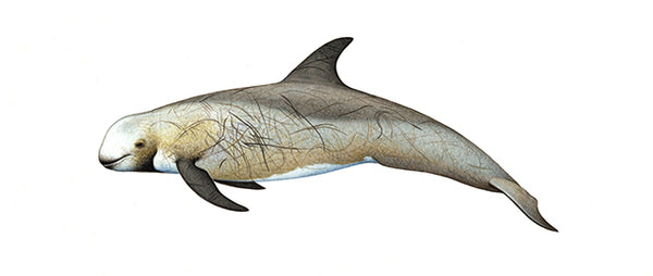 Risso's dolphin (brown form)