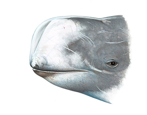 Risso's dolphin (male head)
