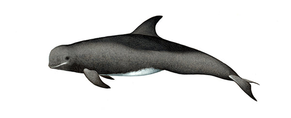 Risso's dolphin (sub-adult)