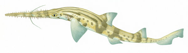 Common sawshark (Pristiophorus cirratus)