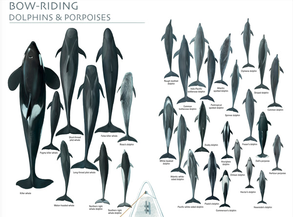 Bow-riding dolphins & porpoises poster