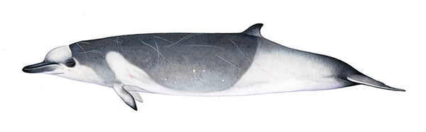 Shepherd's beaked whale (male dark grey form)