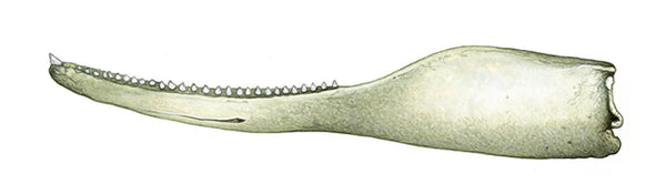 Shepherd's beaked whale (male lower jaw)