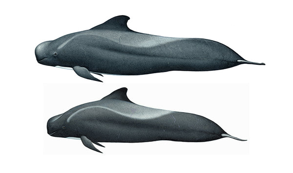 Short-finned pilot whale (male and female)