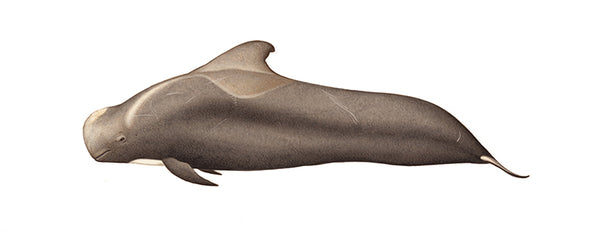 Short-finned pilot whale (brown variation)