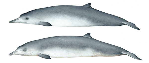 Sowerby's beaked whale (female above, male below)