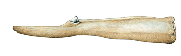 Sowerby's beaked whale (male lower jaw)