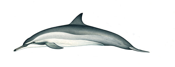 Spinner dolphin (Gray's or Hawaiian)