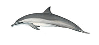 Spinner dolphin (Gray's or Hawaiian calf)