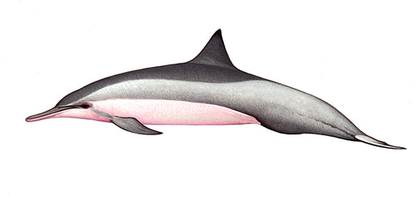 Spinner dolphin (Whitebelly)