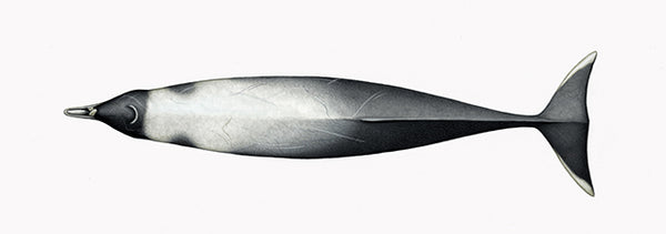 Strap-toothed beaked whale (male)