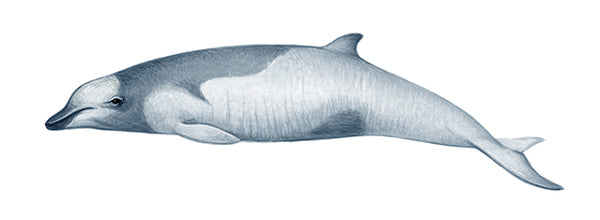 Strap-toothed beaked whale (calf)
