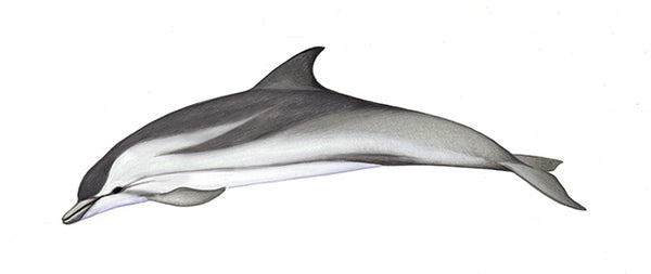 Striped dolphin (calf)