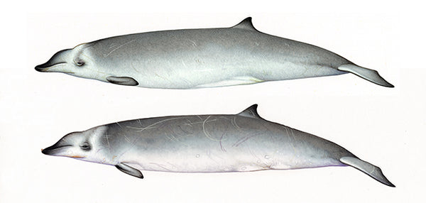 True's beaked whales (male & female North Atlantic form)