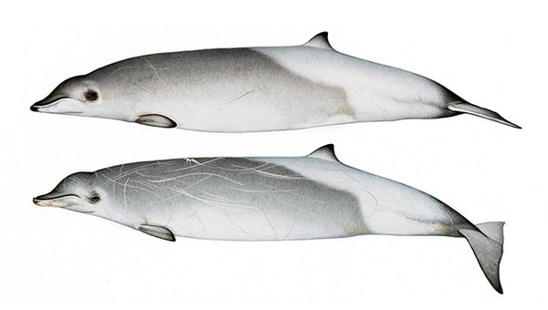 True's beaked whales (male & female Southern Hemisphere form)