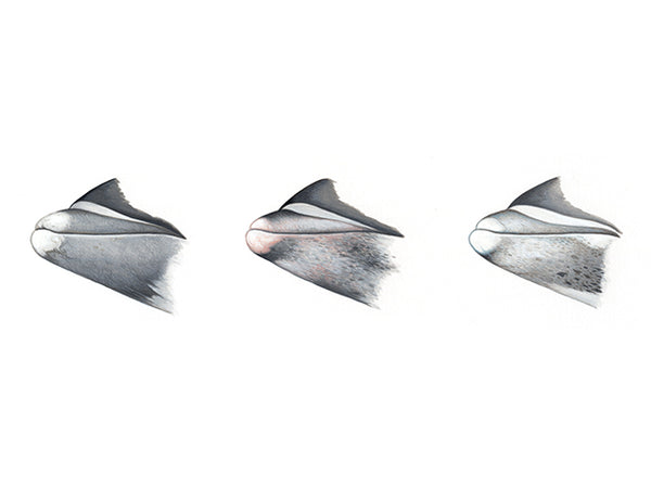 White-beaked dolphin beak variations