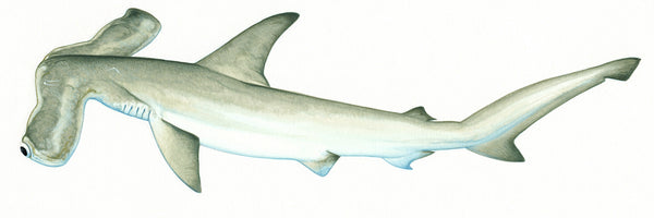 Winghead shark (Eusphyra blochii)
