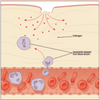 A type of white blood cell called Neutrophils migrates to the bacteria in a process called 'chemotaxis'.