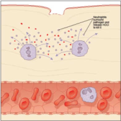 Neutrophils surround the bacteria and release Hypochlorous acid (HOCI) to kill it.