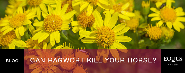 Can Ragwort Kill Your Horse?