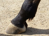 Fetlock small amount of hair for trimming