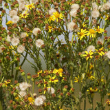 Ragwort Flowers and Seeds