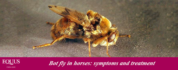 Symptoms and treatment of bot fly in horses