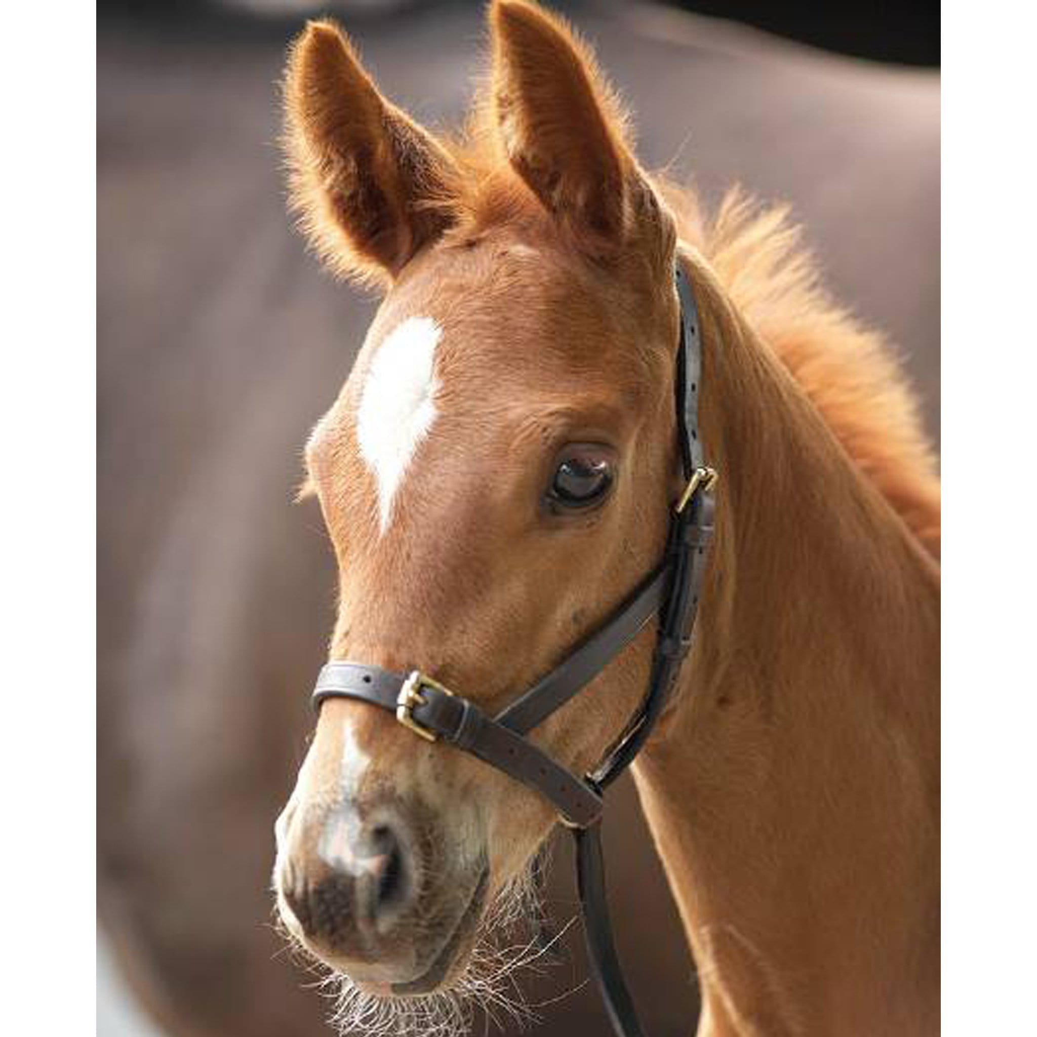 Blenheim Leather Foal Slip 4159