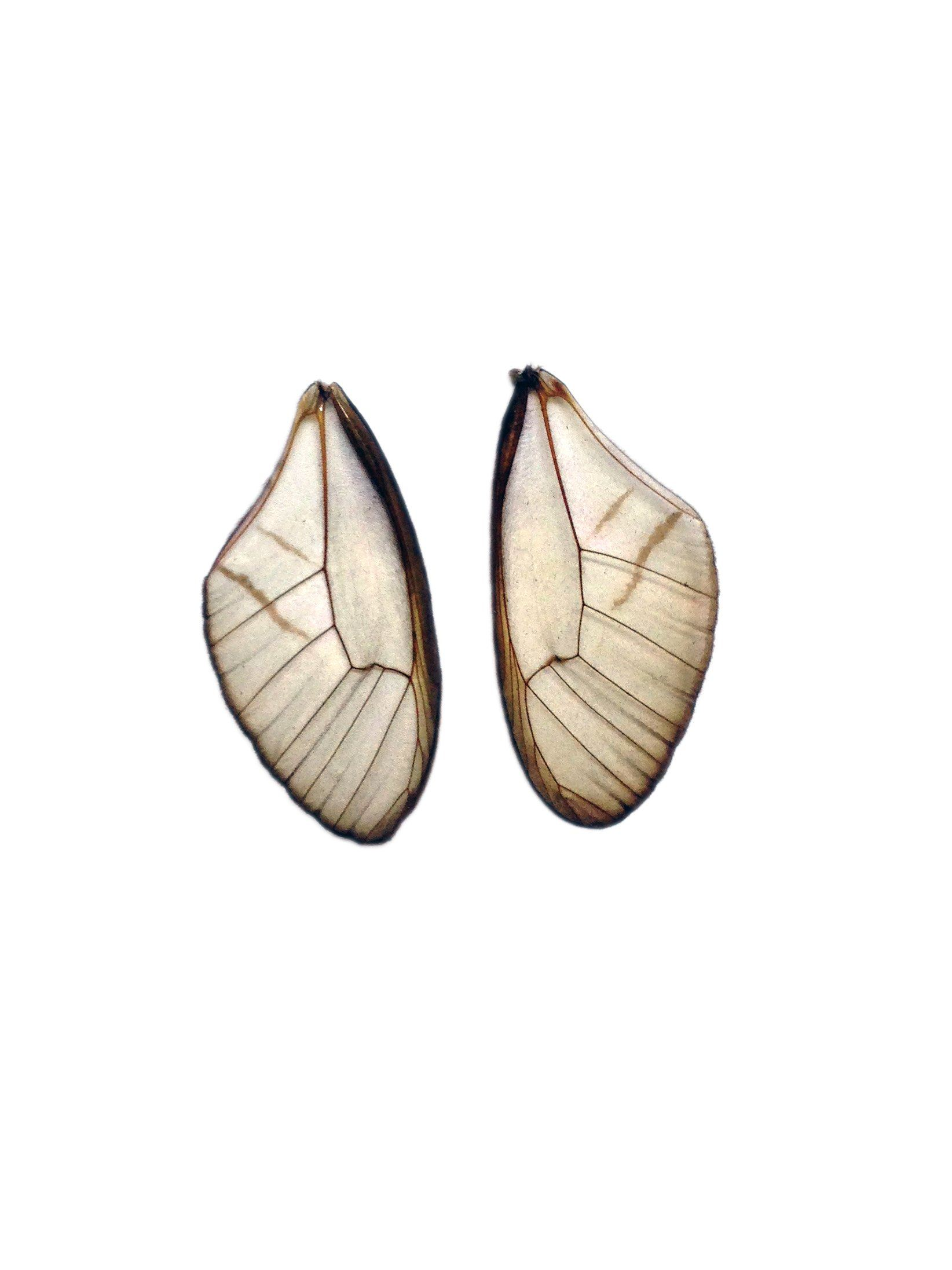 Cithaerias merolina butterfly wing pairs