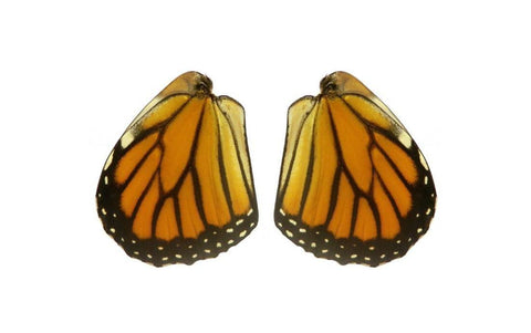 Monarch butterfly wing pairs for jewelry making and crafts