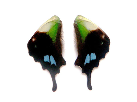 Graphium weiskei butterfly wing pairs