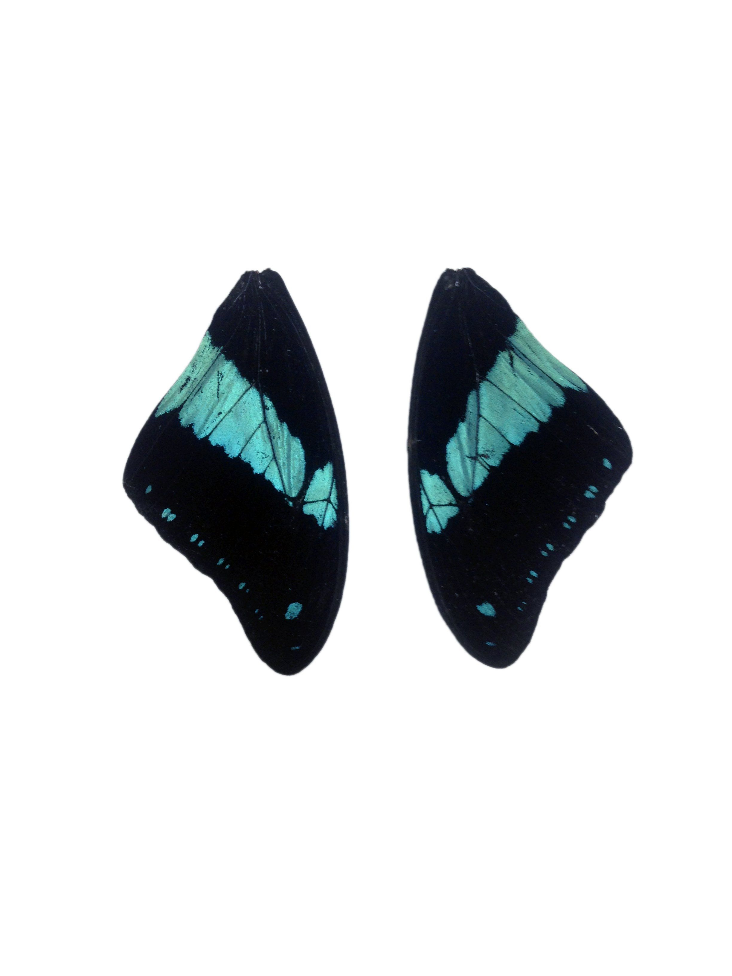 Papilio bromius butterfly wing pairs