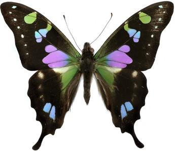 Graphium weiskei butterfly wing pairs Resin Obsession