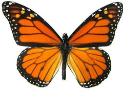Monarch butterfly wing pairs