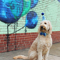 Goldendoodle with Blue Birthday Hat and Bow Tie