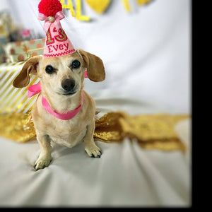 Dachshund dog with pink party hat