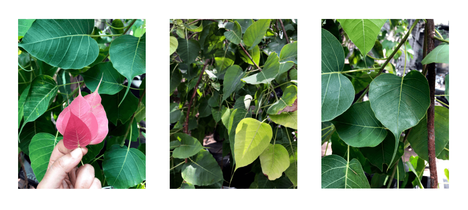 Different color pattern of peepal leaf