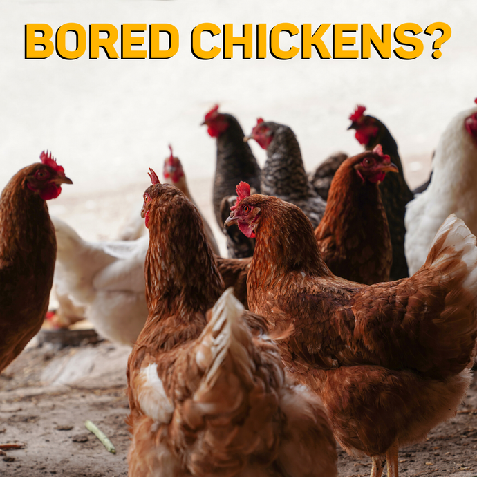 Ideas to Keep Your Chickens Entertained