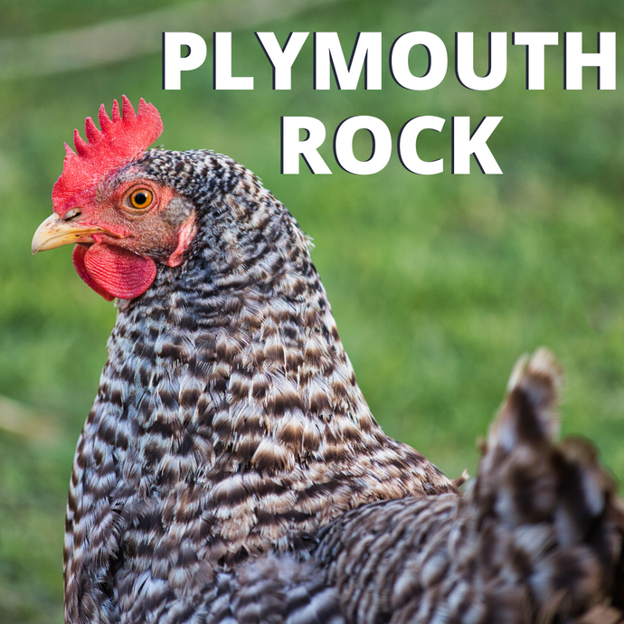 Breed Guide: Plymouth Rock Chicken