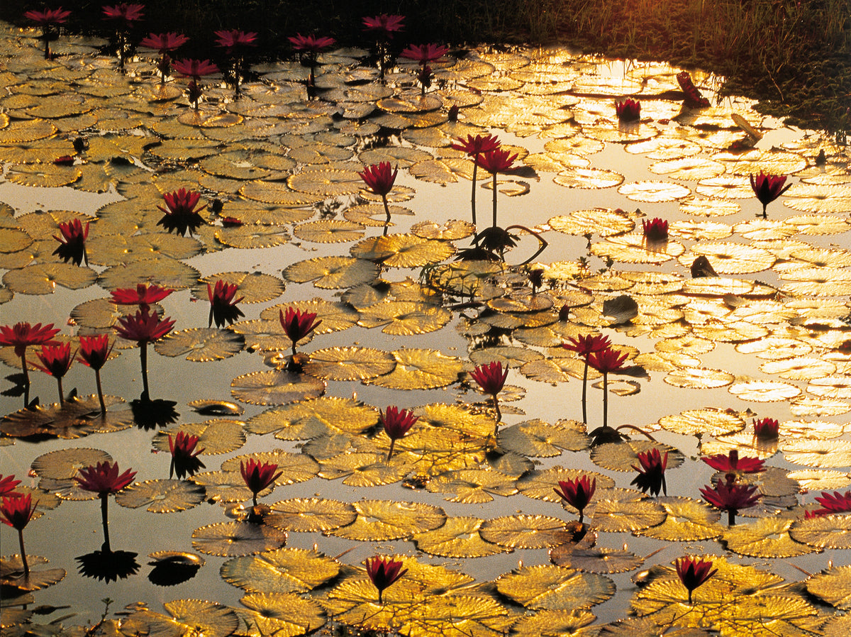 Bruno Baumann - Lotus Pond