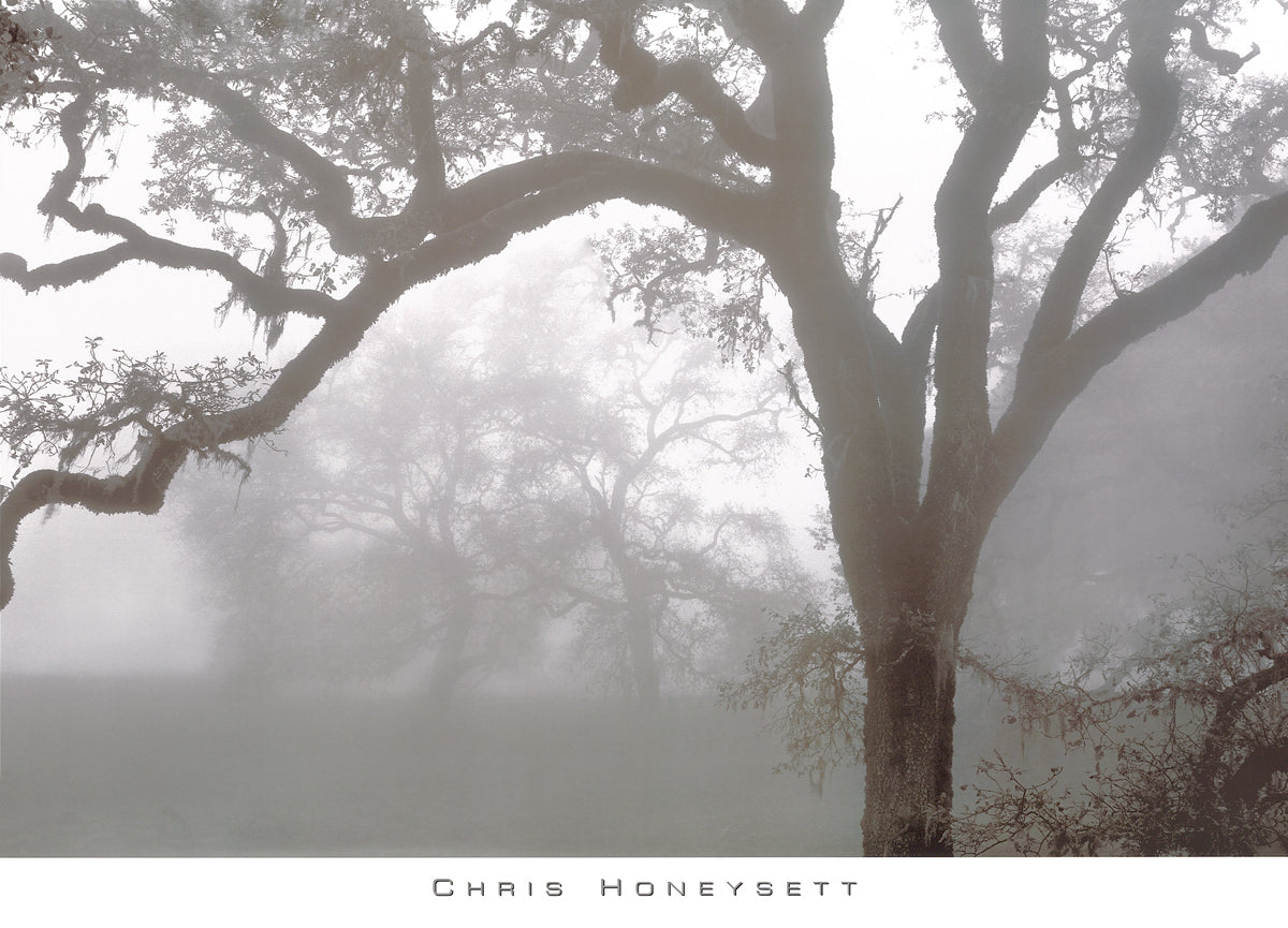 Chris Honeysett - Oaks in Fog, Mendocino