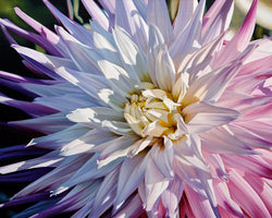 Michael Schuh - Another Dazzling Dahlia