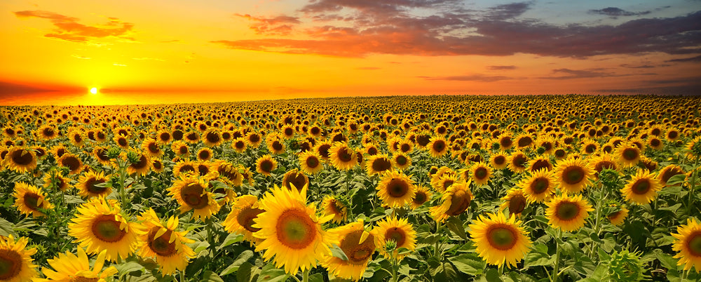 field of sunflowers - flower delivery - florists