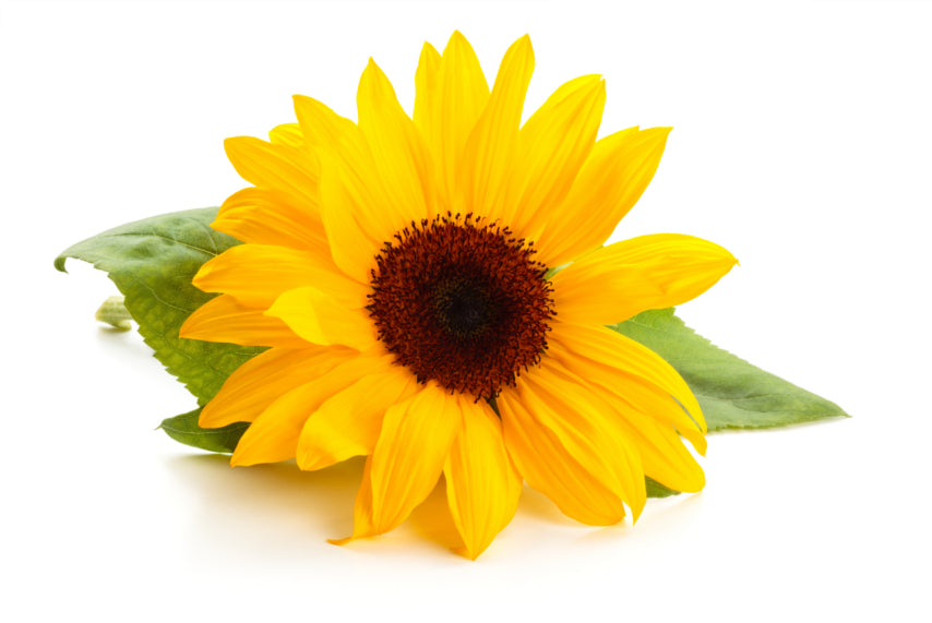 5 Surprising Facts about Sunflowers