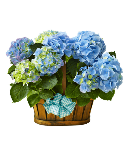 Double Bloom Hydrangea