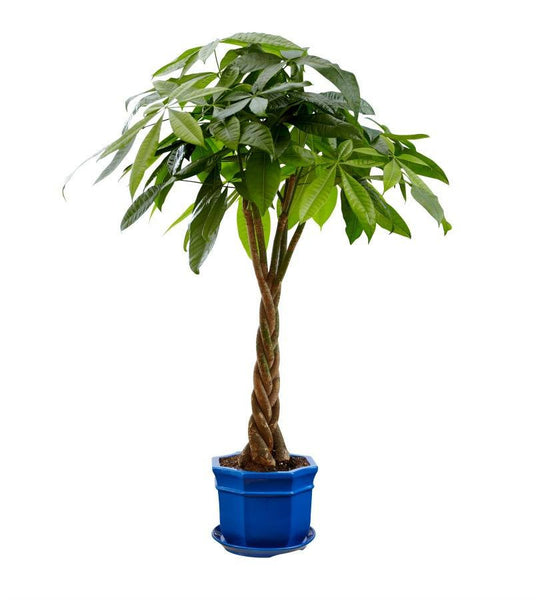 Bonsai Money Tree - Florists.com  - 2
