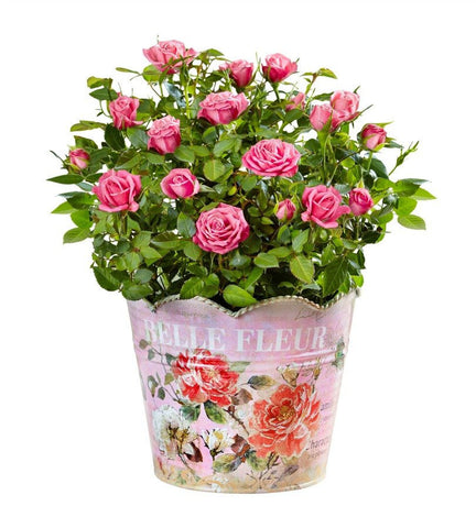 Charming Pink Rose Plant