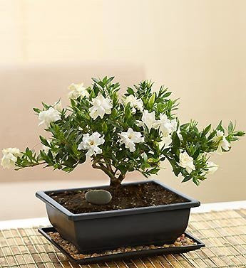 Nice Ivory Gardenia Bonsai Tree   Florists.com ...